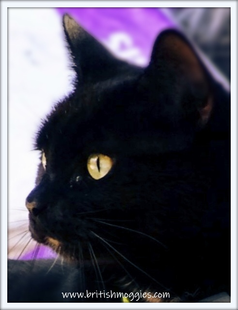 black cat, parsley the cat, house panther, cute black cat, close up of black cat