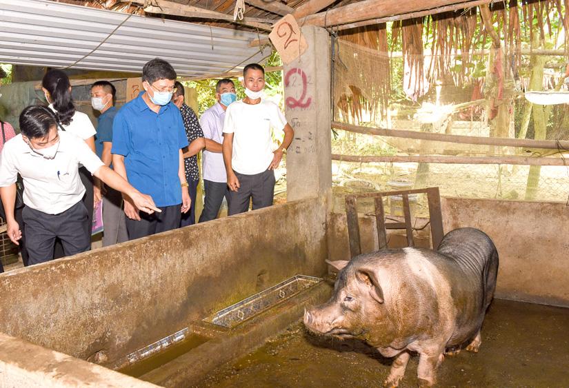 Nuôi lợn đen bản địa sinh sản đang đem lại lợi nhuận kinh tế cao