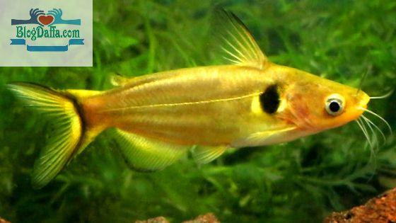 Sun Catfish