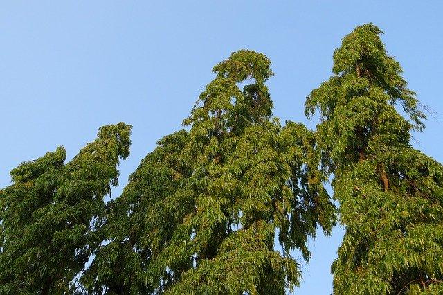how to plant ashoka tree