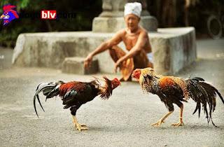 Chọi gà rất được ưa chuộng ở Việt Nam