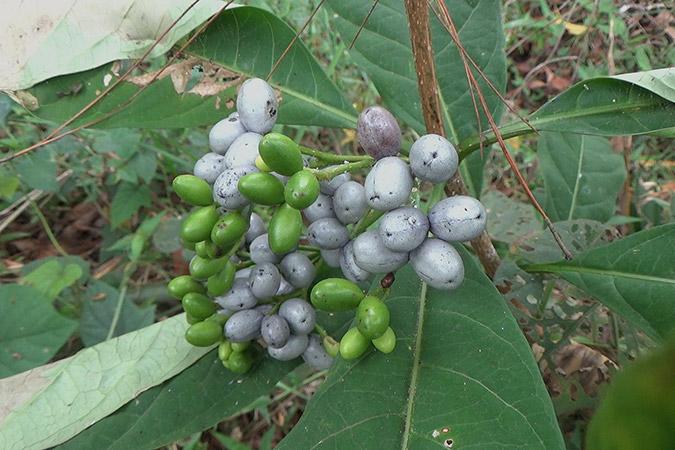 Dlium Common devil pepper (Rauvolfia verticillata)