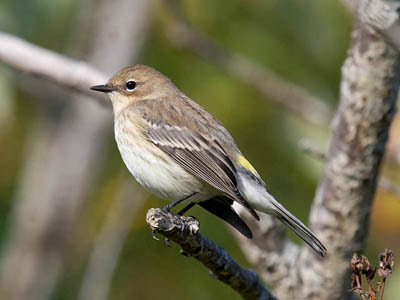 Photo of Yellow-rumped Warbler on tree