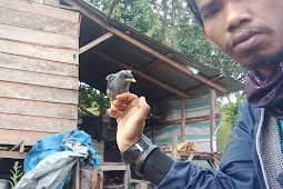 Mengenal Burung Jalak Kebo,Sipembawa Hoki