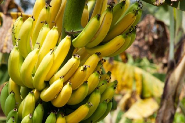 gambar buah pisang di pohon