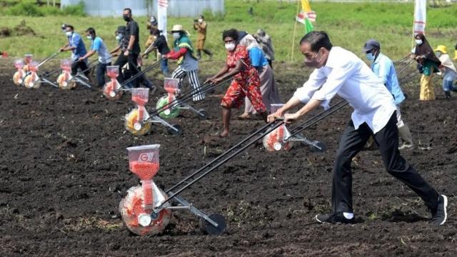 Tanam Jagung di Sorong, Jokowi Jadi 'Motor' Penggerak Pertanian