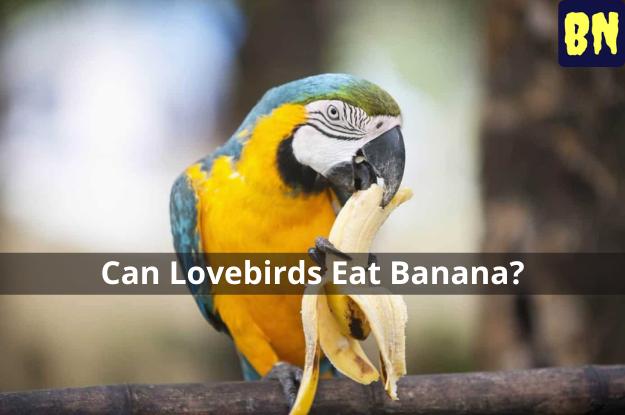 Can Lovebirds Eat Banana?