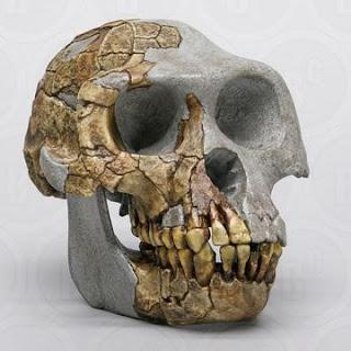 reconstructed Ardipithecus ramidus skull