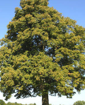 Hackberry Tree Pros and Cons