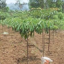 Ekologi pohon pulai