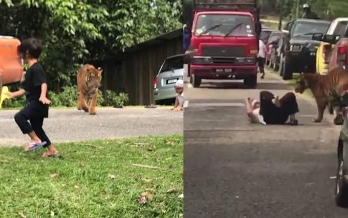 (Video & Foto) 'Pak Belang' Sesat Masuk Kampung, 1 Kampung Lari Bertempiaran