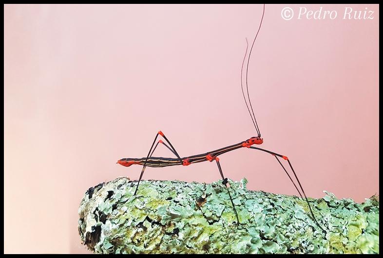 Hembra adulta de oreophoetes peruana (roja), 8 cm de longitud