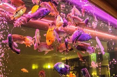 merawat ikan hias di akuarium