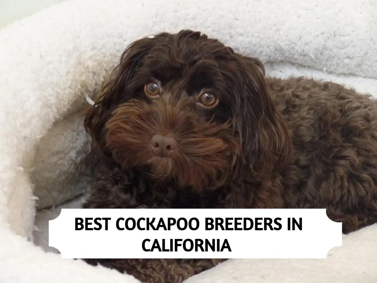 Best Cockapoo Breeders in California