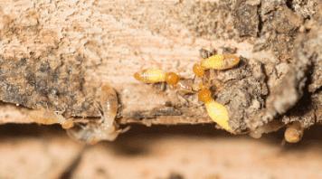 Adapun jenis-jenis serangga perusak kayu yang sering ditemukan di daerah tropis dan subtropis terdiri dari rayap, kumbang, dan Hymenoptera