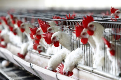 Use of Protected Benzoic Acid in Poultry production