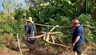 Agricultor colhe macaxeira gigante com mais de 30 quilos em Boa Ventura