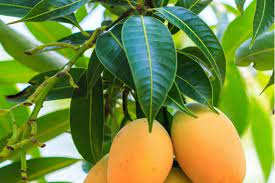 10 Unidentified Health Benefits of Mango Leaves: Don't simply throw them away!