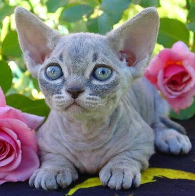 Karakter Ras Kucing Minskin