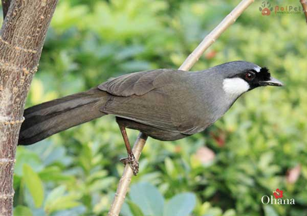Chim khướu trống trông bộ lông sẽ mượt mà hơn chim khướu cái