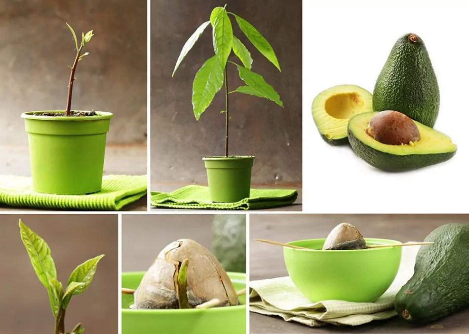 زراعة بذرة الافكادو في المنزل بطريقة سهلة جداً وفعالة