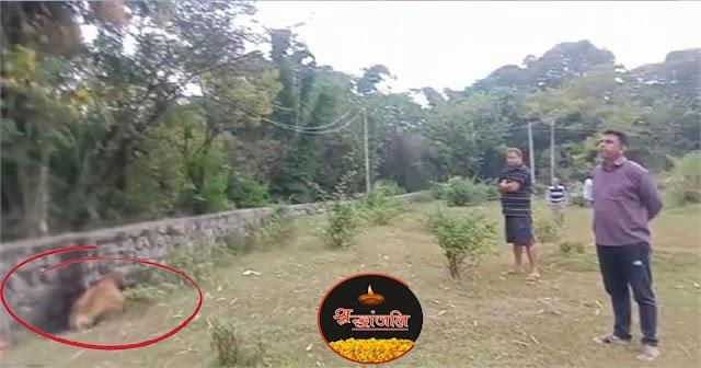 हिमाचल: बिजली की तार की चपेट में आने से गर्भवती गाय की गई जान, लापरवाही किसकी ?