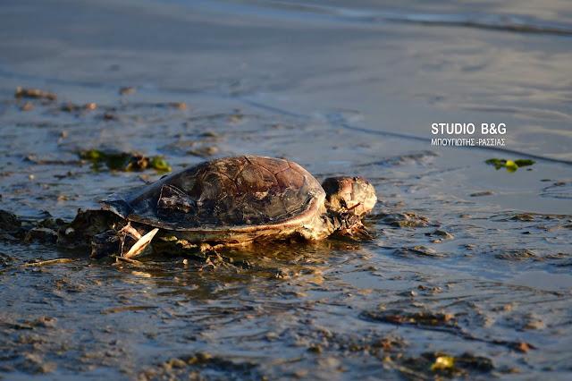 Θλιβερό θέαμα σε παραλία της Αργολίδας με μια ακόμα νεκρή θαλάσσια χελώνα