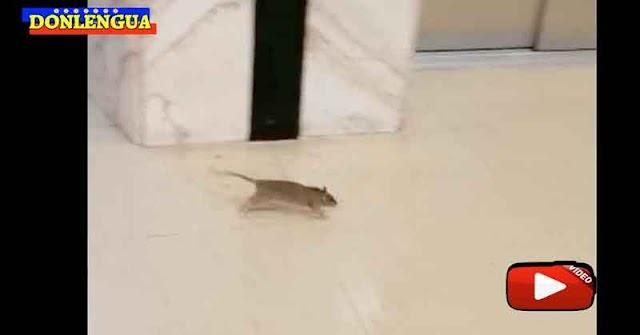 En el Hospital Luis Razetti de Barinas hay más ratas en los pasillos que médicos o enfermeras