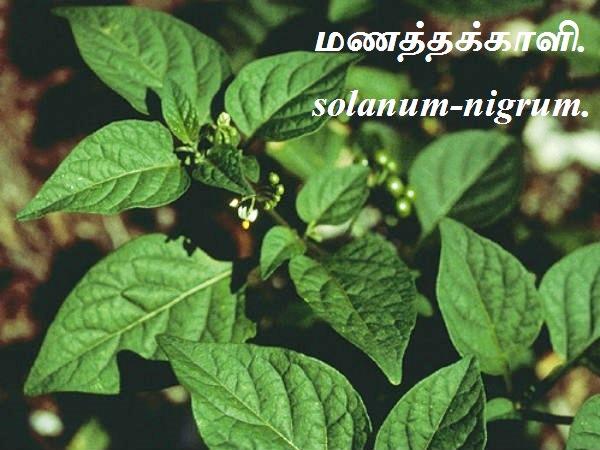 மணத்தக்காளி - Manathakkali - Black nightshade - Solanum.
