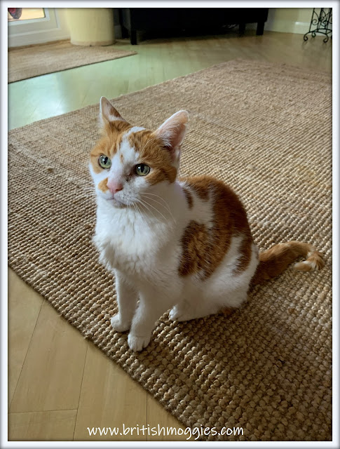 ginger and white tabby cat sitting on a jute rug