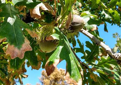 green huge bur burr oak acorns 2021