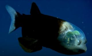 Caçadores de Fakes investiga imagens de peixe com cabeça transparente  - (Crédito: Divulgação/SBT)