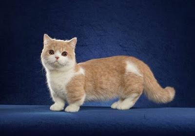 Jenis Ras Kucing Minuet