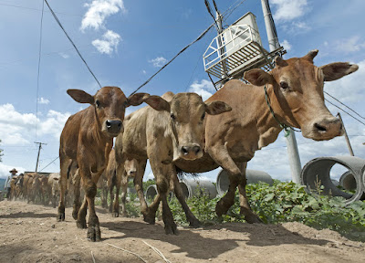 How to identify rift Valley fever in Cows