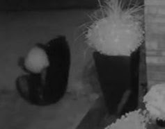 Bear struggles to steal large pumpkin from Ontario porch
