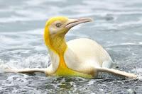 "Pinguim-rei ultra-raro amarelo surpreende fotógrafo: Como ""ganhar na loteria da natureza"""