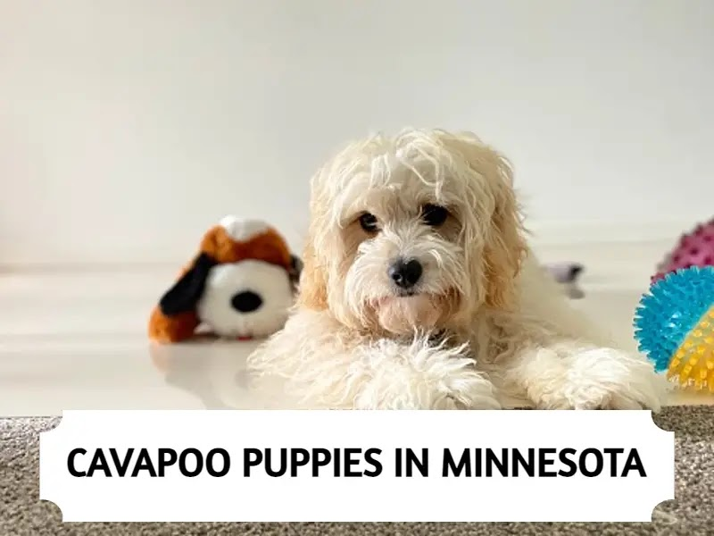 Cavapoo Puppies in Minnesota (MN)