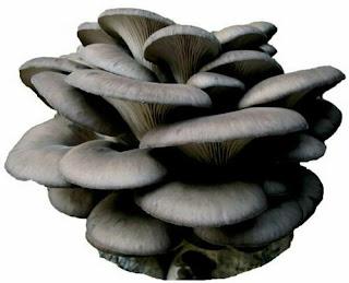 Grey oyster mushroom capsules