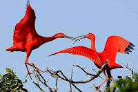 O Guará - A ave símbolo de Guaratuba