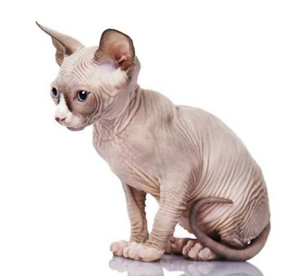 Jenis Ras Kucing Minskin