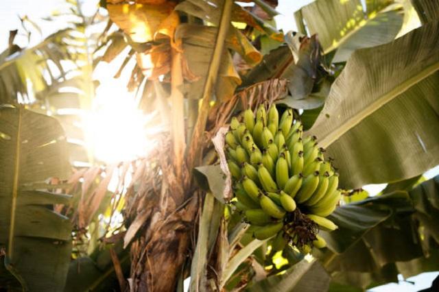 gambar pisang 40 hari