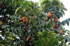 Morfologi pohon mahoni
