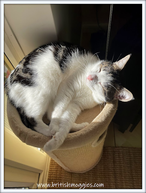 cute tabby cat laying in sun puddle