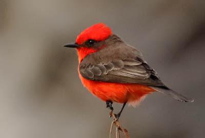 Photo of Vermilion Flycatcher