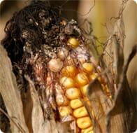 Mycotoxins in corn