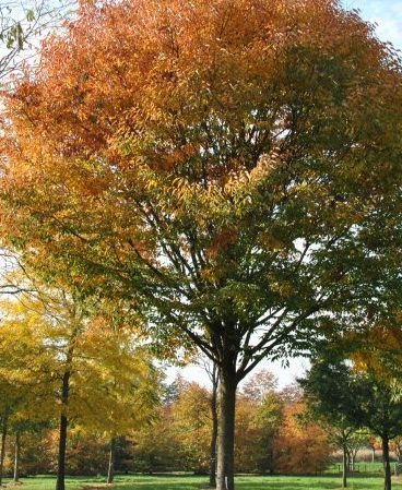 Green Vase Zelkova Pros and Cons, Growth Rate, Problems