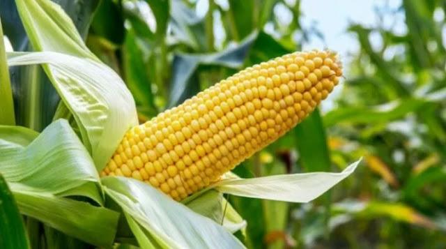 """Alt: = """"maize farm showing a maize without cobs"""""""