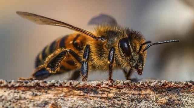 Kecil Tapi Mematikan, Inilah 5 Jenis Serangga Paling Berbahaya di Dunia
