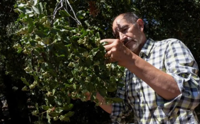 This rare plant found only in Chile can produce 4.4 billion doses of COVID-19 vaccine