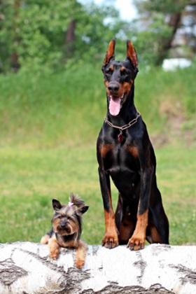 كلاب للبيع في الاسكندرية